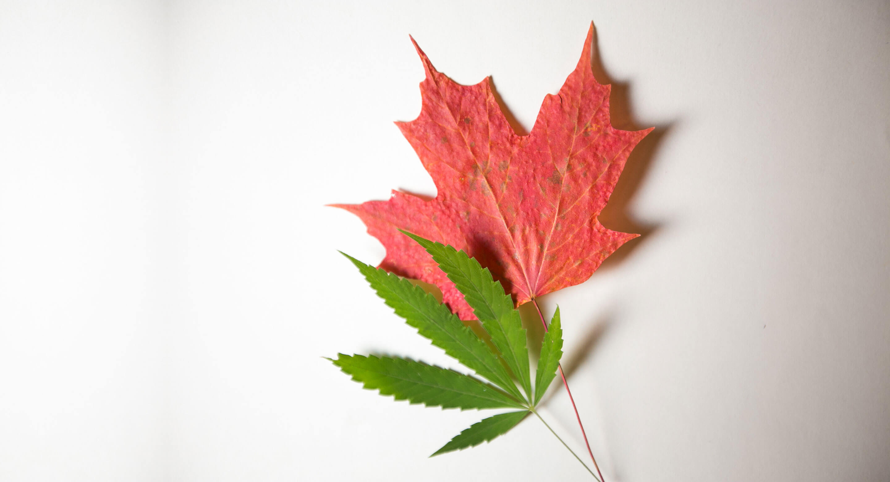 Photo of a cannabis leaf and a maple leaf